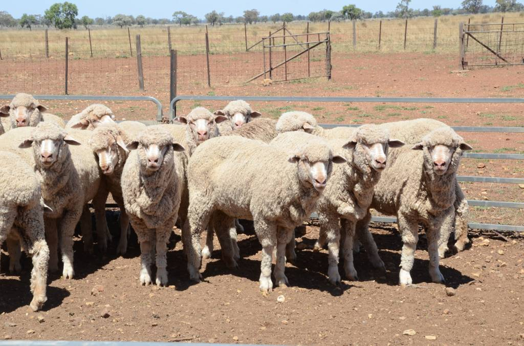 Mulesing ban would risk millions of sheep, says NSW